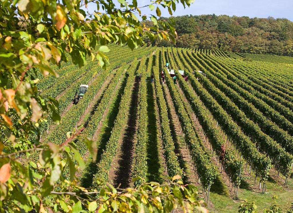 Traubenlese vom Weingut Birkert