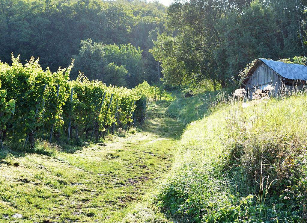 Weinreben Weinberghütte
